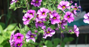 Pretty petunias: Resilient flowers are easy to grow